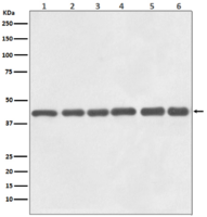 beta Actin Antibody(HRP Conjugated)