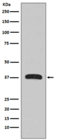 MBP-Tag Mouse Monoclonal Antibody